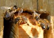 Башкирские бортевые пчелы