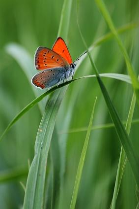 Огненная бабочка. Фото М. Шангареев