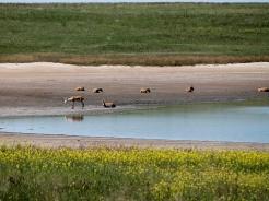 Сайгаки на отдыхе у озера
