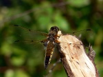 Стрекоза четырёхпятнистая