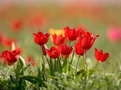 Тюльпаны Шренка