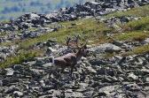 Фото В. Колбина. Дикий северный олень на хребте Молебный камень